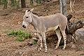 Equus africanus somaliensis 2.jpg