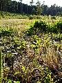 Eragrostis albensis sl29.jpg