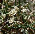 Eriogonum heermannii var sulcatum 8.jpg