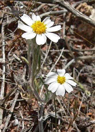 Eriophyllum lanosum - Lake Mead National Recreation Area, Nevada