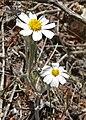 Eriophyllum lanosum 3.jpg
