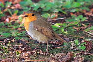 Old World flycatcher - European robin, genus Erithacus
