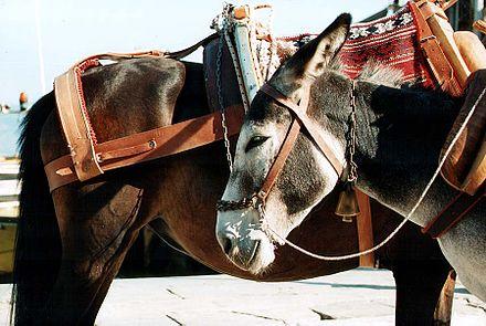 Donkey - Wikiwand