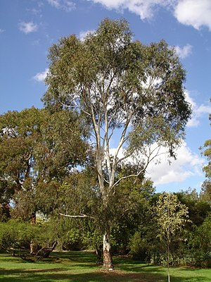 Eucalyptus scoparia