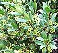 Euclea racemosa - Sea Guarrie Tree - flowers 3.JPG