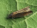 Eucosma obumbratana (40564544894).jpg