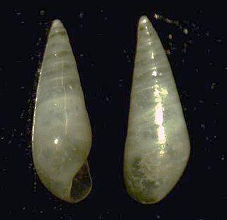 <i>Eulima</i> genus of molluscs