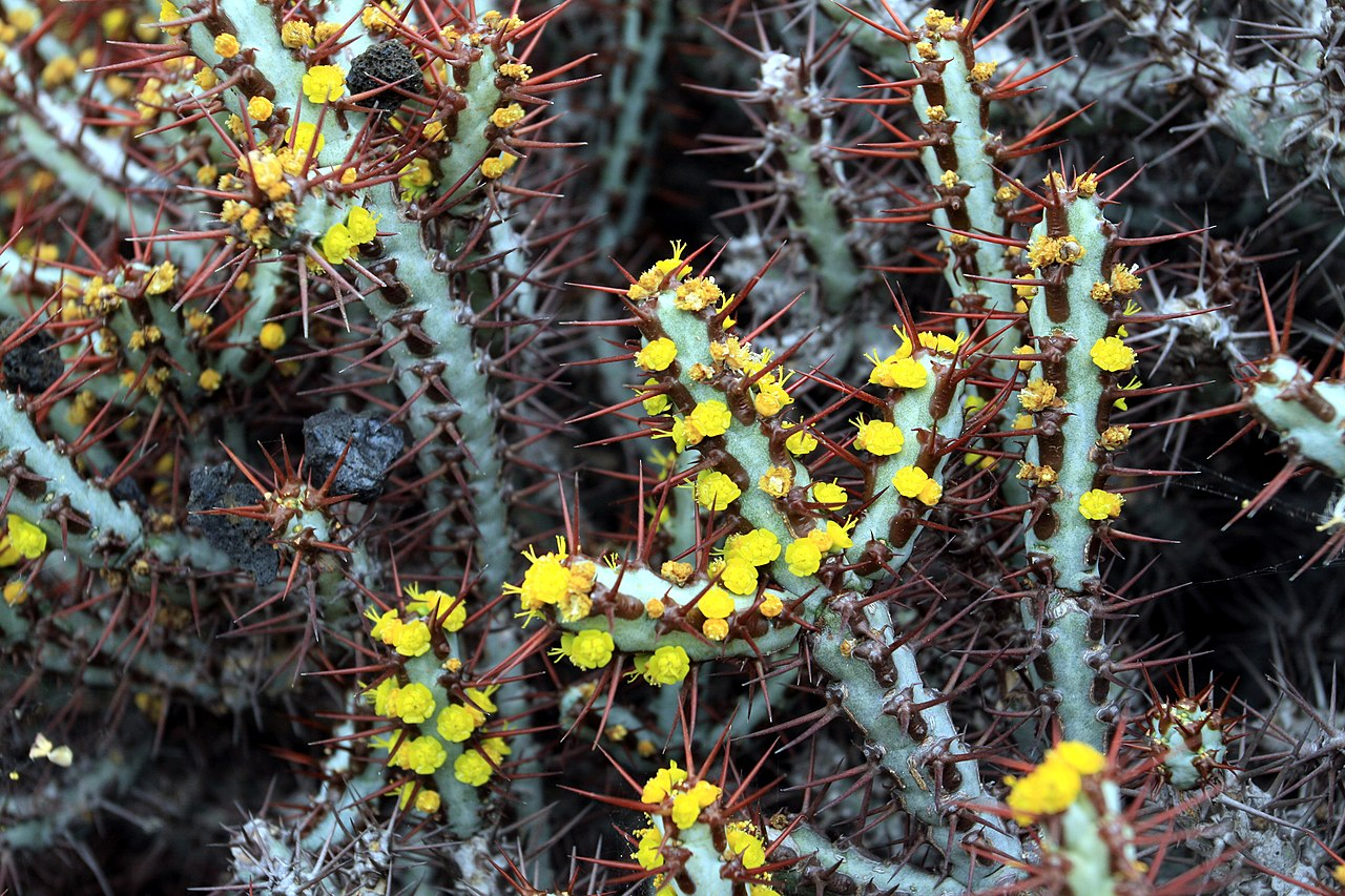File euphorbia aeruginosa in jardin de cactus on lanzarote for Jardineras de cactus