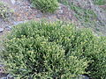 Euphorbia aphylla kz2.JPG