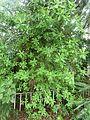 Euphorbia cupularis, habitus, Manie vd Schijff BT, a.jpg