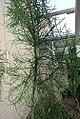 Euphorbia tircualli 0zz.jpg