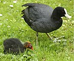 Eurasian Coot with Chick.jpg