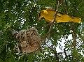 Eurasian Golden Oriole (Oriolus oriolus) on nest W IMG 9036.jpg