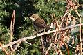 Eurasian Reed Warbler (Acrocephalus scirpaceus).jpg