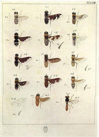 Johann Wilhelm Meigen - Image: Europäischen Zweiflügeligen 1790Taf CCLVII