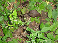 Eurybia divaricata SCA-04326.jpg