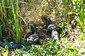 Everglades Alligator-2small.jpg