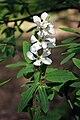 Exochorda racemosa.jpg