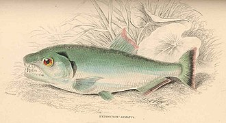 Hydrolycus armatus - Image: FMIB 38628 Hydrocyon armatus