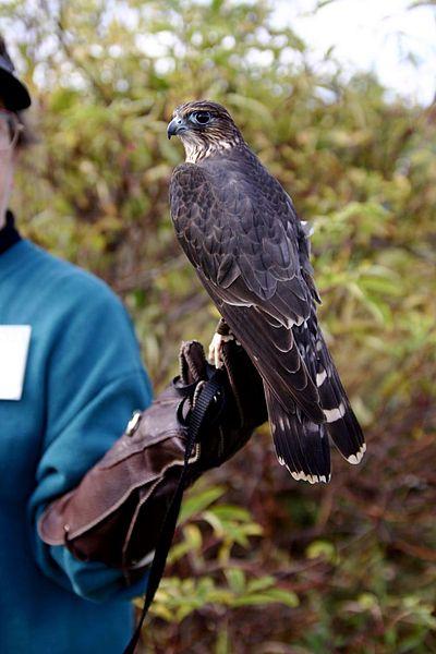 Ficheiro:Falco columbarius training.jpg