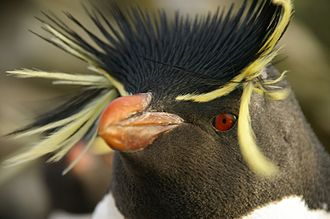 Penguin - Closeup of southern rockhopper penguin (Eudyptes chrysocome)