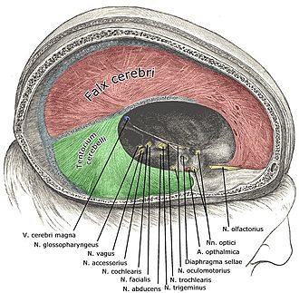 Falx cerebri - Dura mater and its processes exposed by removing part of the right half of the skull and the brain.