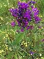 Fasciation echium plantagineum.jpg