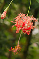 Fata Morgana,Hibiscus schizopetalus 1.jpg