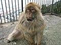 Fauna Autoctona,Gibraltar Ape - panoramio.jpg