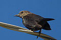 Female Brewer's Blackbird (euphagus cyanocephalus) (8156994743).jpg