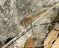 Female Epaulet Skimmer. Orthetrum chrysostigma - Flickr - gailhampshire.jpg