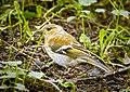 Female chaffinch (19188228200).jpg