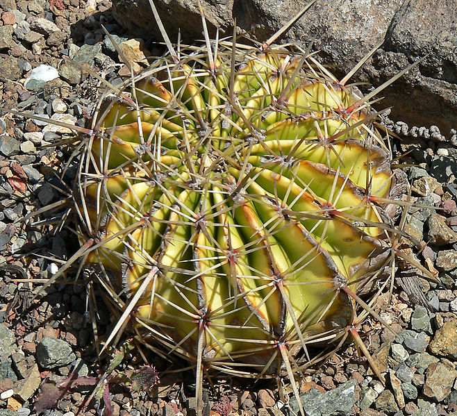 Fotografije kaktusa - Page 9 658px-Ferocactus_echidne_var_victoriensis_1
