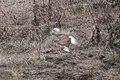 Ferruginous Hawk (light morph adult) between Mendoza B & Nunes Ranch Pt Reyes CA 2018-10-04 12-54-31 (31893547488).jpg