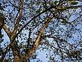 Ficus racemosa 014.jpg
