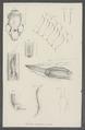 Filaroides mustelarum - - Print - Iconographia Zoologica - Special Collections University of Amsterdam - UBAINV0274 104 04 0005.tif