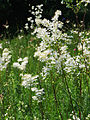 Filipendula vulgaris Bobrovnya6.JPG