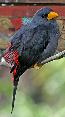 Finch-billed Myna.jpg