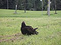 Finch Hydro Corridor vulture.jpg