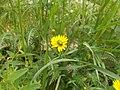 Fiore giallo con coleottero.jpg