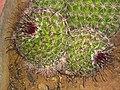 Fishhook cactus buds.jpg
