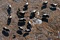 Five Muskox Calves (4624151723).jpg