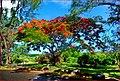 Flamboyant tree - Ile aux Cerfs - Mauritius - panoramio.jpg