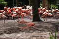 Flamingo at Chester Zoo.jpg
