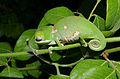 Flap-neck Chameleon (Chamaeleo dilepis) juvenile sleeping (16881498096).jpg