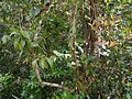 Flat-branched Pepper (16014558838).jpg