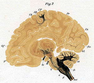 Myelinogenesis - The third (labeled CP for posterior centrale, BA 3,1,2, primary somatosensory cortex) and fourth (labeled CA for anterior centrale, BA 4, primary motor cortex) areas of the cerebral cortex to myelinate – nissl stain parasaggital section of a 7-month-old human fetus (Flechsig 1921)