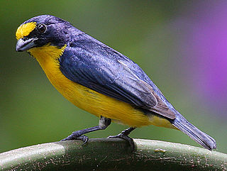 Yellow-throated euphonia species of bird