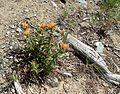 Flickr - brewbooks - Castilleja elmeri on Navaho Pass.jpg