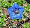 Flickr - brewbooks - Gentiana acaulis 'Krebs' (1).jpg